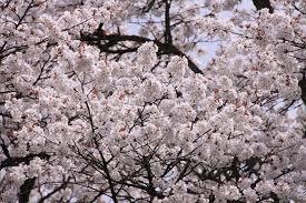 さいぞうさん、藤岡さん達とお花見しました!